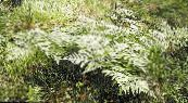 Garden Plants Western Bracken Fern, Brake, Bracken, Northern Bracken Fern, Brackenfern, Pteridium aquilinum photo green