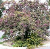 Honey locust burgundy