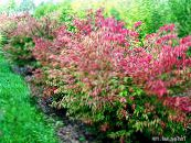 des plantes de jardin Euonymus photo rouge
