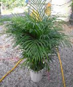 Indoor plants ?hrysalidocarpus tree photo green