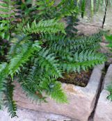 Holly fern dark green Herbaceous Plant