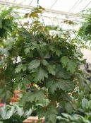 Grape Ivy, Oak Leaf Ivy dark green Hanging Plant