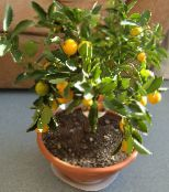 Calamondin dark green Tree
