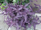 Indoor plants Purple Heart Wandering Jew, Setcreasea photo purple