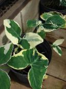 Indoor plants Malanga, Yautia, Xanthosoma photo motley