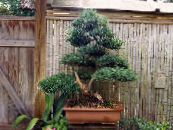 Indoor plants Japanese Yew tree, Podocarpus photo dark green