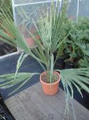 Indoor plants Sabal tree photo green