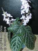 Chamaeranthemum, India Plant