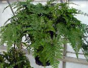 Hare's Foot Fern green Herbaceous Plant