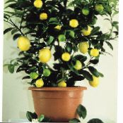 Lemon dark green Tree