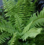 Sword Ferns green Hanging Plant