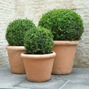 Boxwood green Shrub