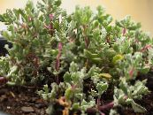 Indoor plants Oscularia succulent photo lilac