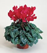 Pot Flowers Persian Violet herbaceous plant, Cyclamen photo red