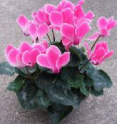 Pot Flowers Persian Violet herbaceous plant, Cyclamen photo pink