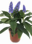 Blue Ginger dark blue Herbaceous Plant