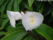 Pot Flowers Fiery Costus herbaceous plant photo white