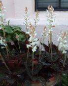Pot Flowers Jewel Orchid herbaceous plant, Ludisia photo white