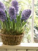 Pot Flowers Hyacinth herbaceous plant, Hyacinthus photo lilac