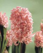 Pot Flowers Hyacinth herbaceous plant, Hyacinthus photo pink