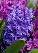 Hyacinth dark blue Herbaceous Plant