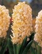 Pot Flowers Hyacinth herbaceous plant, Hyacinthus photo yellow