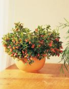 Pot Flowers Hypocyrta, Goldfish Plant photo orange