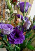 Pot Flowers Texas Bluebell, Lisianthus, Tulip Gentian herbaceous plant, Lisianthus (Eustoma) photo dark blue