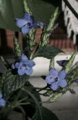 Pot Flowers Blue sage, Blue eranthemum shrub photo light blue