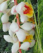 Red Ginger, Shell Ginger, Indian Ginger white Herbaceous Plant