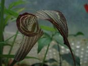 Pot Flowers Dragon Arum, Cobra Plant, American Wake Robin, Jack in the Pulpit, Arisaema photo brown