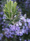Pot Flowers Rosemary shrub, Rosmarinus photo white