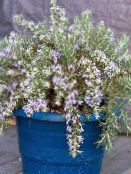 Pot Flowers Rosemary shrub, Rosmarinus photo light blue
