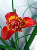 Tigridia, Mexican Shell-flower herbaceous plant photo red