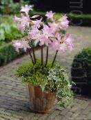Pot Flowers Belladonna Lily, March Lily, Naked Lady herbaceous plant, Amaryllis photo white