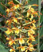 Hedychium, Butterfly Ginger orange Herbaceous Plant