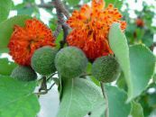 Paper Mulberry orange Tree