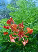 Royal Poinciana, Flamboyant Tree