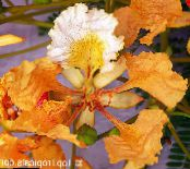Royal Poinciana, Flamboyant Tree orange