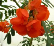 Pot Flowers Red Rattlebox shrub, Sesbania photo red