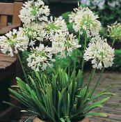 Pot Flowers African blue lily herbaceous plant, Agapanthus umbellatus photo white