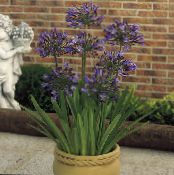 Pot Flowers African blue lily herbaceous plant, Agapanthus umbellatus photo purple