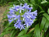 Pot Flowers African blue lily herbaceous plant, Agapanthus umbellatus photo light blue