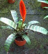 Pot Flowers Vriesea herbaceous plant photo red