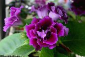 Pot Flowers Sinningia (Gloxinia) herbaceous plant photo purple