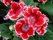 Pot Flowers Sinningia (Gloxinia) herbaceous plant photo red