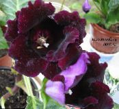 Pot Flowers Sinningia (Gloxinia) herbaceous plant photo claret