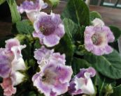 Pot Flowers Sinningia (Gloxinia) herbaceous plant photo lilac