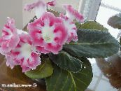 Pot Flowers Sinningia (Gloxinia) herbaceous plant photo pink