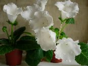 Pot Flowers Sinningia (Gloxinia) herbaceous plant photo white